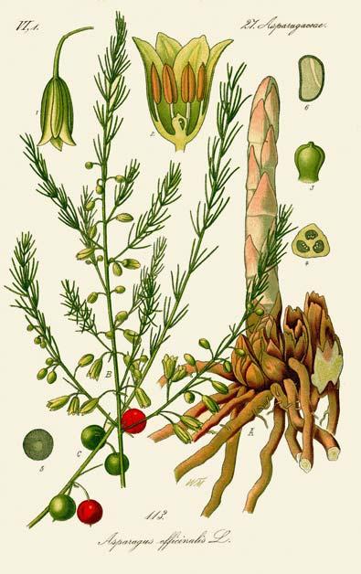 Illustration_Asparagus_officinalis0b-fond-beige