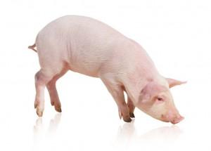Porc-deposit