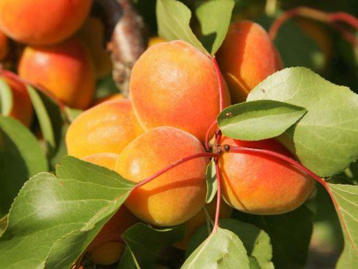 Abricots-02